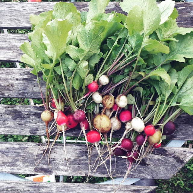 Urban vegetable garden: Radishes - harvested in 2015