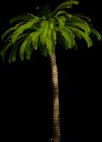 Palmeira em png