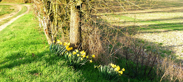 Daffodils on a rural track.  Indre et Loire, France. Photographed by Susan Walter. Tour the Loire Valley with a classic car and a private guide.