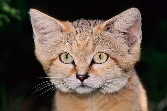 arabian sand cat breeders