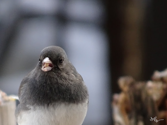 Bird Junco Photo