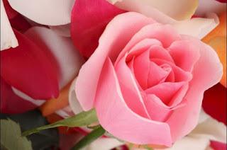 Bunga Mawar Cantik, Bunga Mawar,