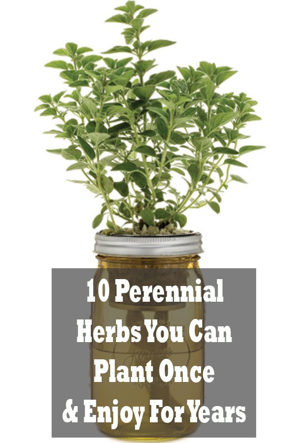Perennial herbs are an excellent way to keep up your supply of fresh herbs without having to spend tons of money and time cultivating new plants every season. With proper care and cultivation, these ten hassle-free herbs will flourish for years to come.