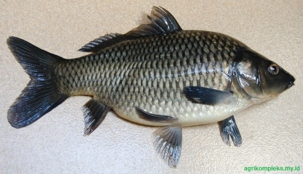 Cara Budidaya Ikan Tombro  Peluang Bisnis Yang Menjanjikan