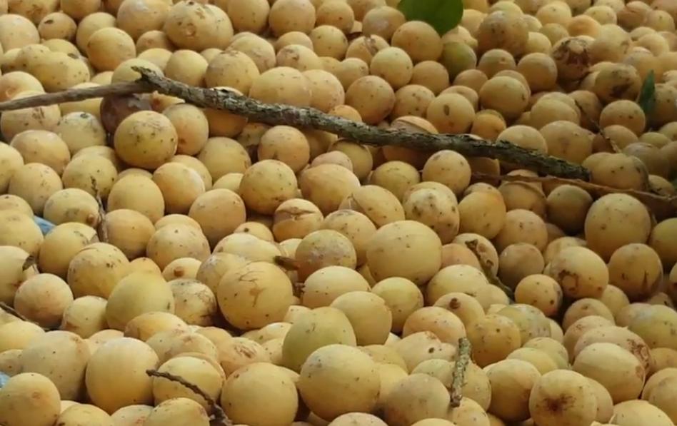what is Duku Fruit?