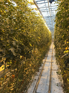 Rows and rows of tomato plants