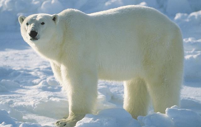 تعلم الدب القطبي آداب الطعام في حديقة الحيوانات