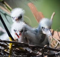 Snowy Egret chicks – St. Augustine, FL – May 2017 – photo by Ke Wu