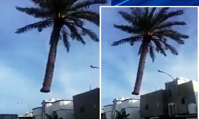 ALLAHU AKBAR, Pohon Kurma Ini Bisa Terbang Sendiri, Lihat Videonya!