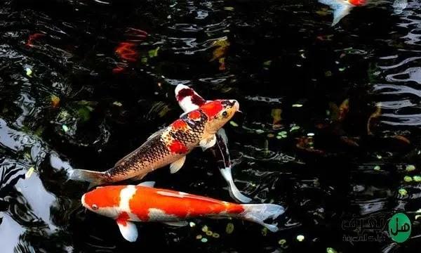سمكة الكوي