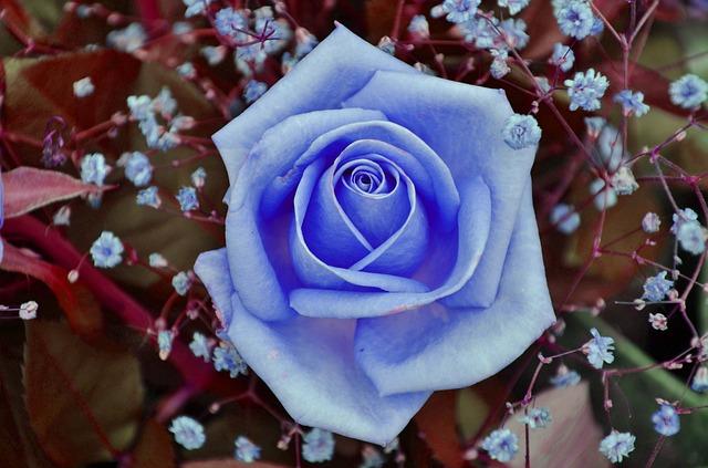 hoa hồng xanh dương đẹp