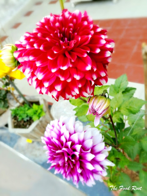 Dahlias are grown from seeds or tubers. They need to be planted in spring season, after the threat of frost has passed. They grow up to 5-6 feet and bloom with flowers of 10-12 inches across. You can also place these beautiful flowers by making floral centerpieces to brighten up your home.