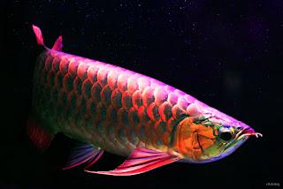 Ciri-Ciri Ikan Arwana (Arowana Fish) Berkualitas