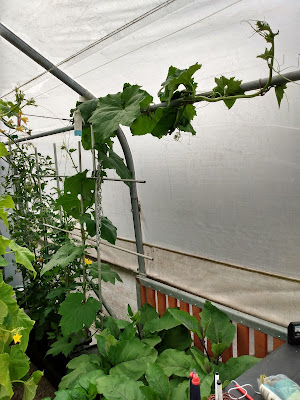 Loofah (luffa) plant in polytunnel grown with Quadgrow system