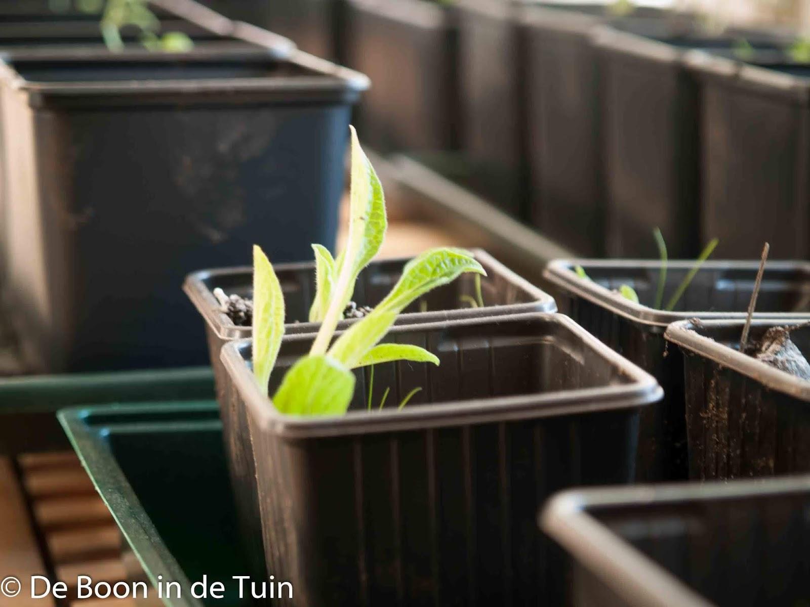 moestuin volkstuin voorjaar maart lente zaaien smeerwortel