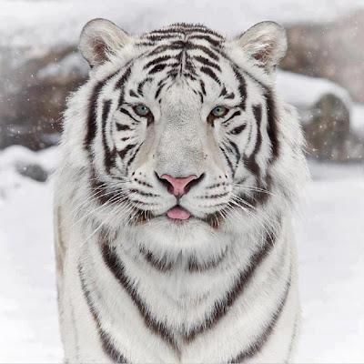 La Chachipedia: El tigre. Phantera tigris