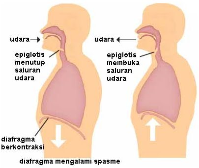 Biologi Gonzaga Mekanisme Bernafas