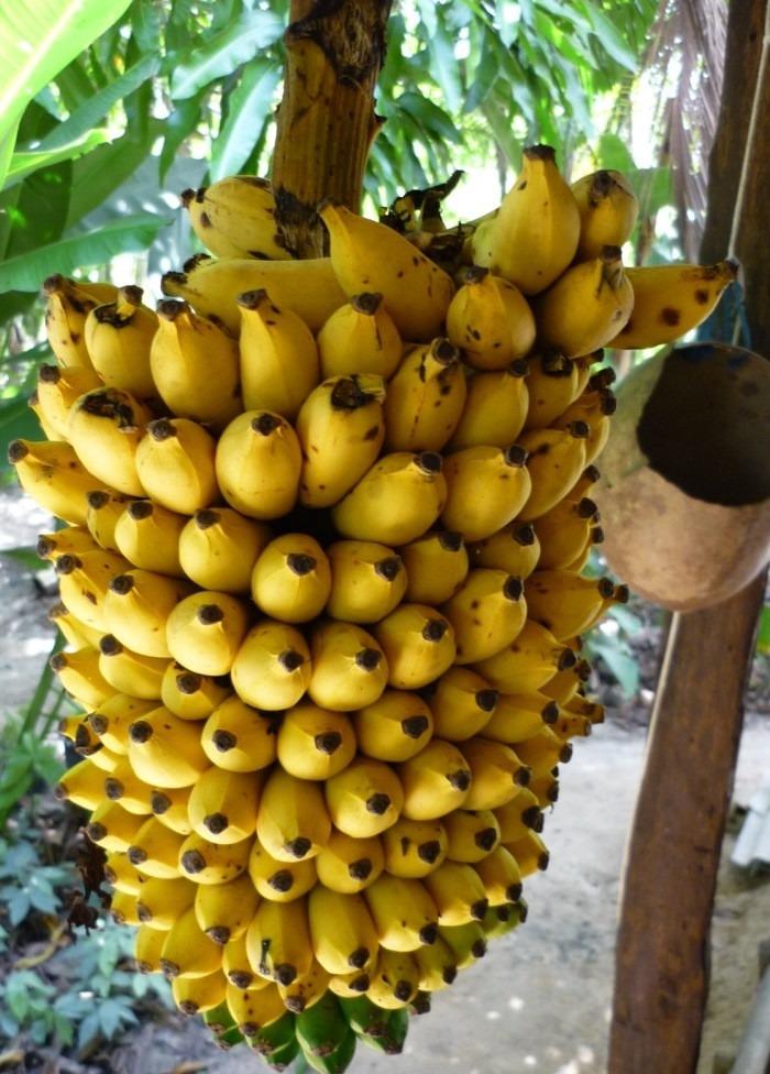 #Banana-ouro