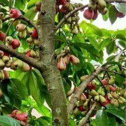 harga bibit tanaman buah 1 meter keatas
