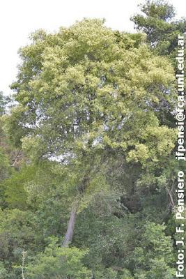 Guayabí blanco (Cordia americana)