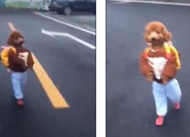 Aneh Tapi Menarik, Anjing Pudel Ini Berjalan Seperti Manusia