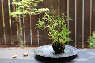 大竹慎一郎さんの陶盤の上の四季咲きシモツケの苔玉