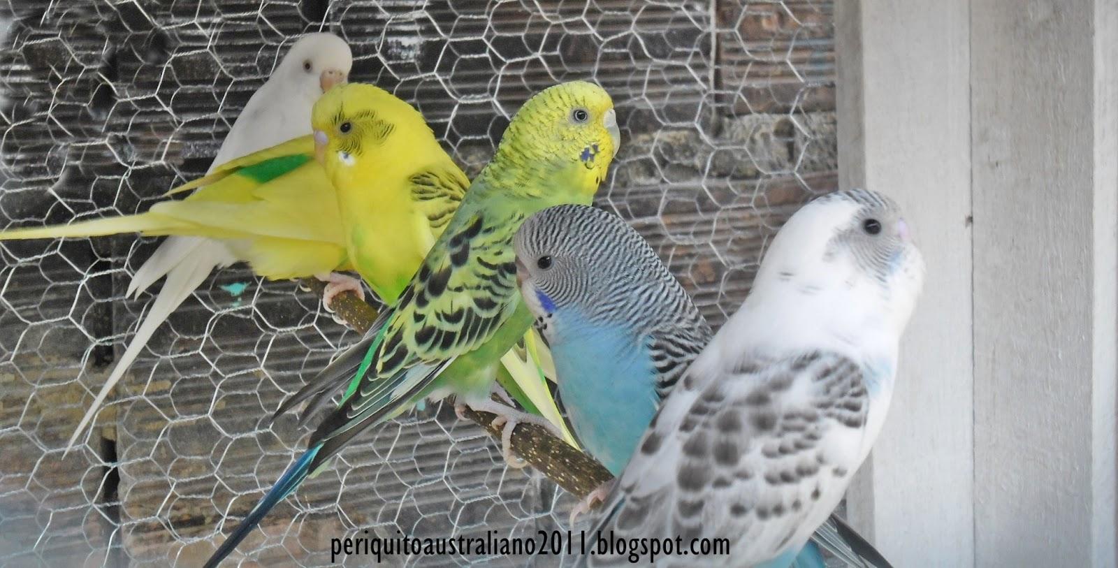 Periquito Australiano - Tudo sobre periquitos está aqui.: Periquito ...