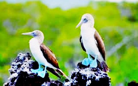burung Galapagos Cormorant