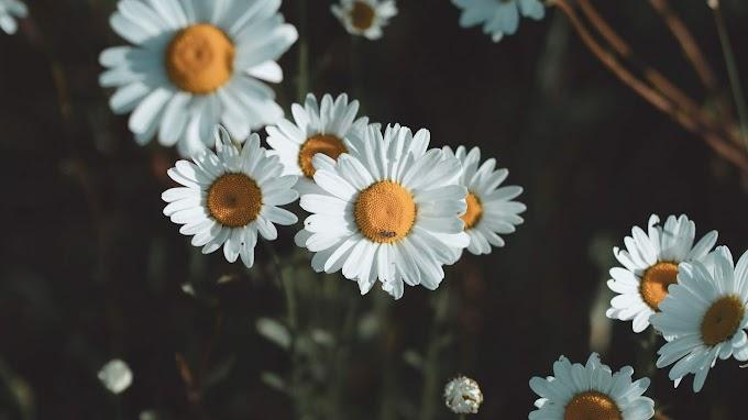Papel de Parede Margaridas Flores Silvestres