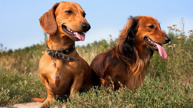Age of Dachshunds to get pregnant