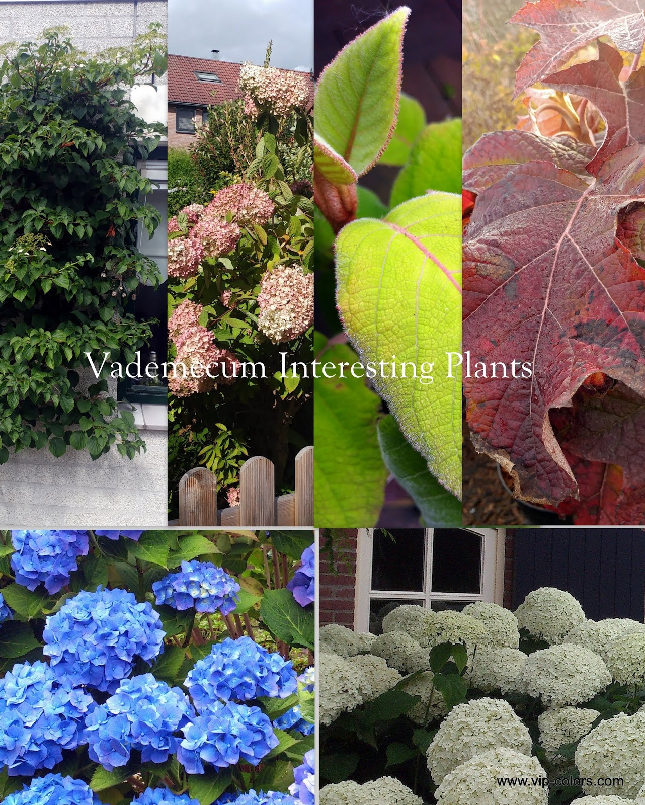 Vademecum Interesting Plants Hydrangea Hortensja Gatunki