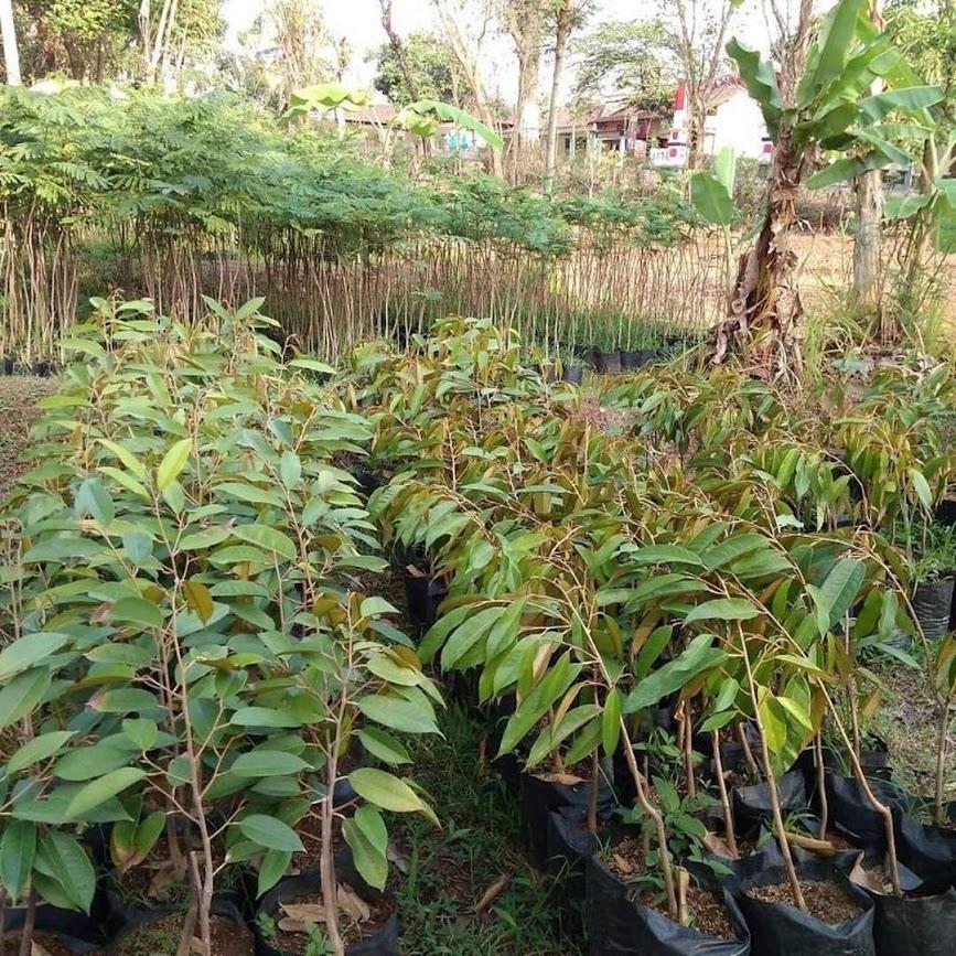 Bibit Tanaman Durian Bawor Hasil Okulasi Siap Berbuah Jawa Barat
