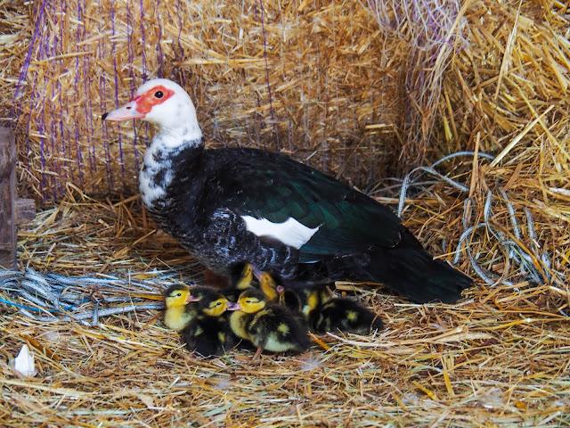 Moeder eend met pulletjes