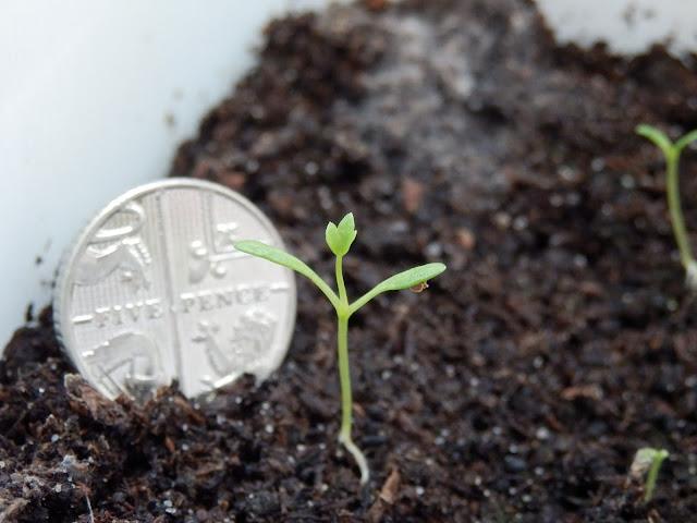 Celeriac seedling