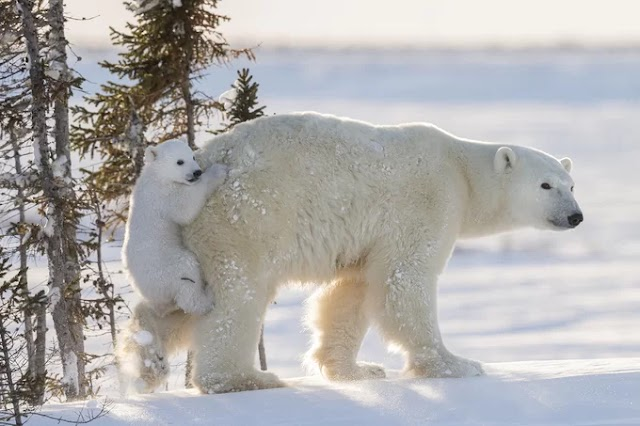The park has thousands of white bears