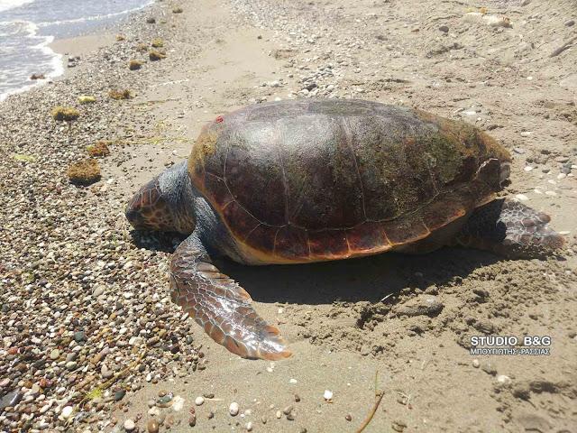 Αργολίδα: Νεκρή μεγάλη θαλάσσια χελώνα στην Πλάκα Δρεπάνου