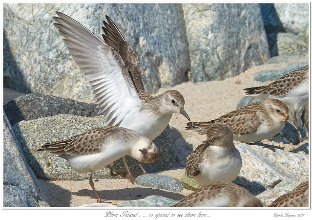 Plum Island: ... so special to see them here...