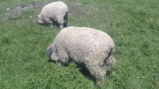Teeswater Sheep Origin, Characteristics, Wool Type, Life Span, price