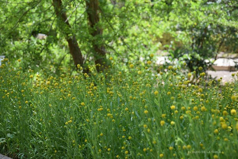 flores amarillas de manzanilla de Chile
