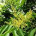 Drzewo mydlane - kwiaty