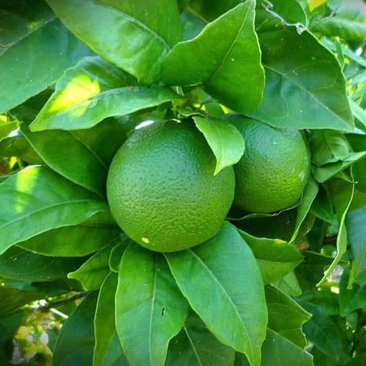 Bibit jeruk nipis cepat berbuah DELIFMART Kepulauan Riau