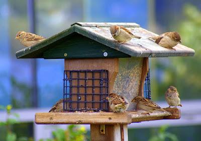 صور طيور - عصافير بلدى