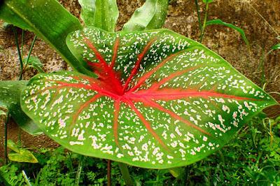 7 Cara menanam tanaman hias keladi supaya tumbuh subur serta indah