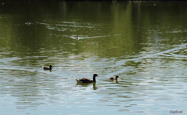 Canards, Parc des Oiseaux de Villars-les-Dombes