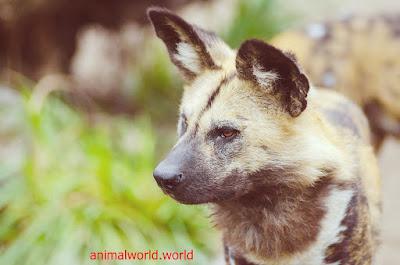 الكلب البري الأفريقي