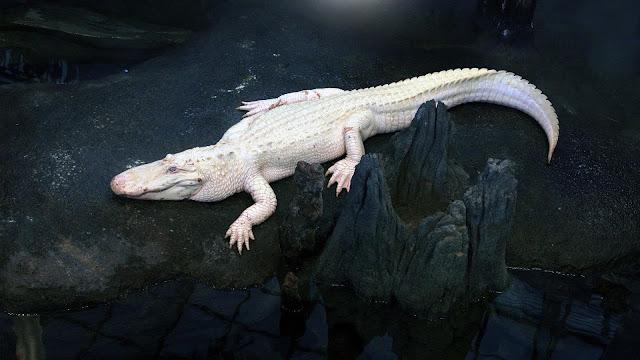 التمساح الاستوائي الأبيض