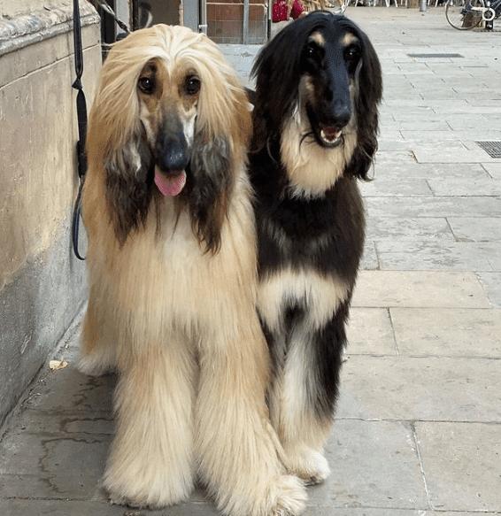 Sabueso afgano perro