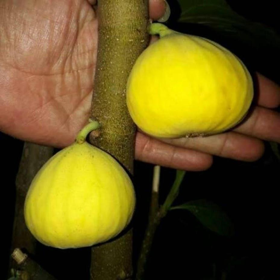 Bibit Tanaman Buah Tin Yellow Jordan Jawa Timur
