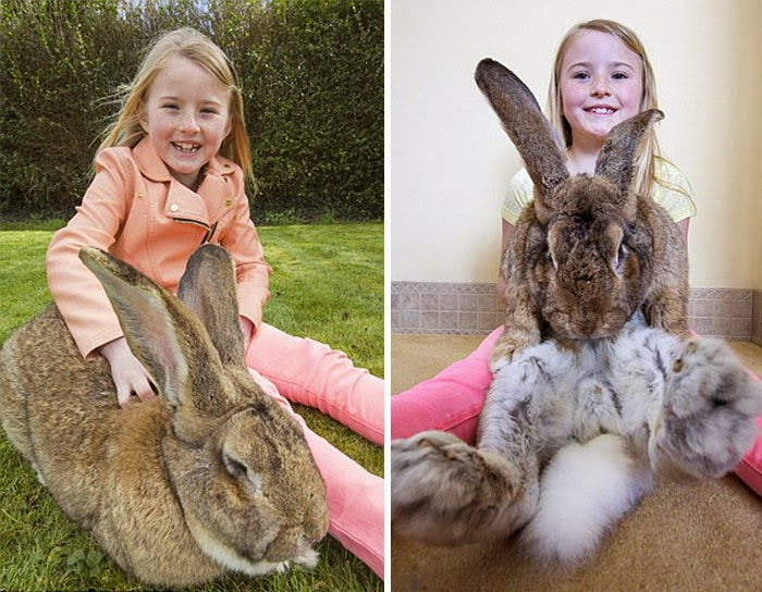largest rabbit in the world