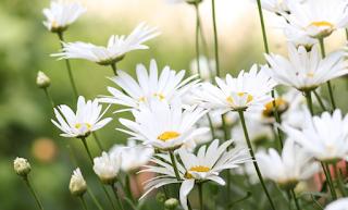 bunga kamomil